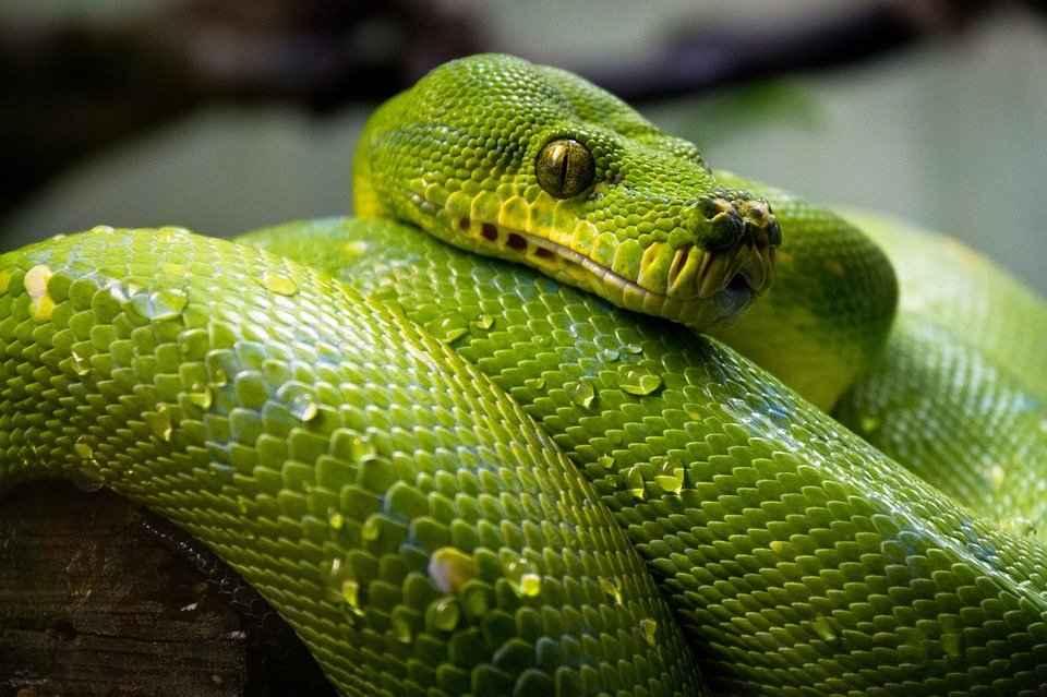 Alimentación de las serpientes