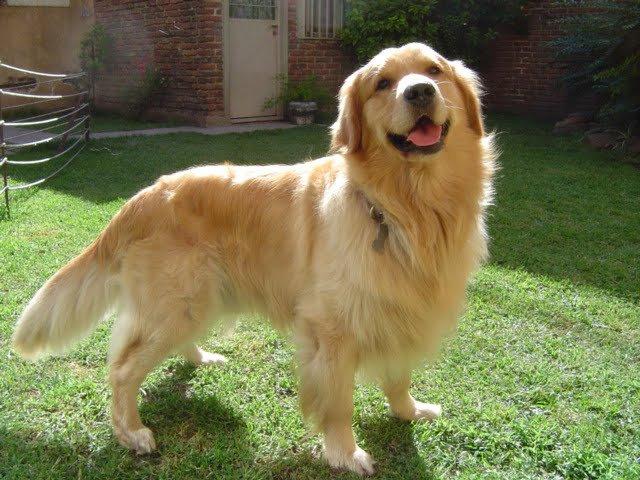 perros golden labrador