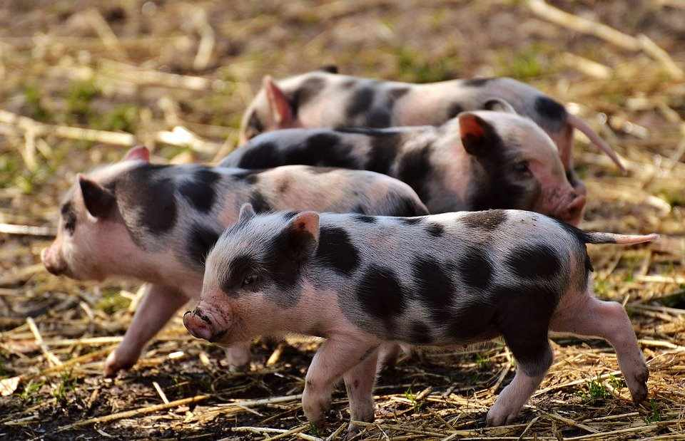 cerdos pequeños