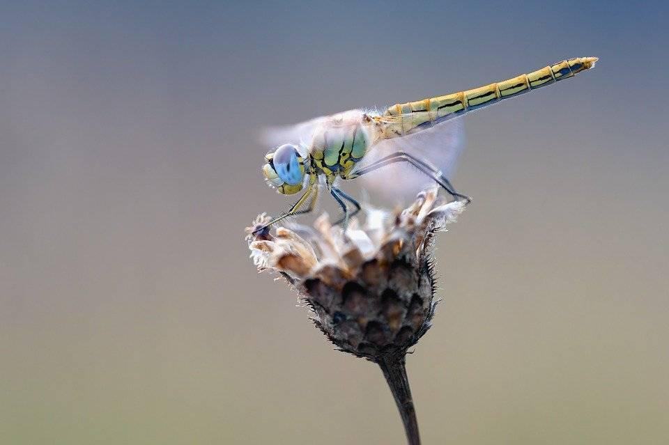 que come la libelula