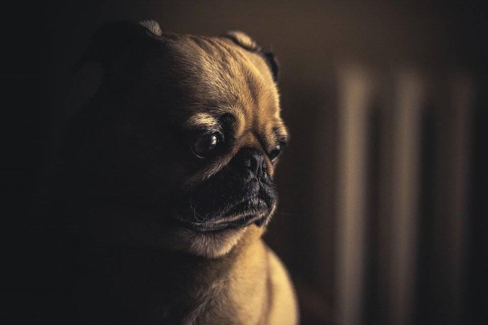 que come perro pug