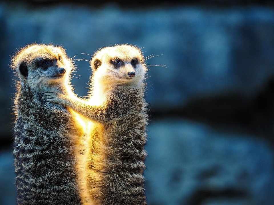 que comen las suricatas