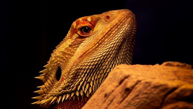que come el dragon barbudo